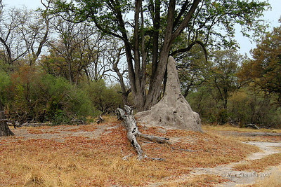 Termite nest on Okavango Delta land - very tall due to high water table