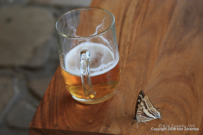 Female Charaxes Alticola Butterfly drank some beer and wouldn't go away, Sabyinyo Silverback Lodge Rwanda, 1/15/09
