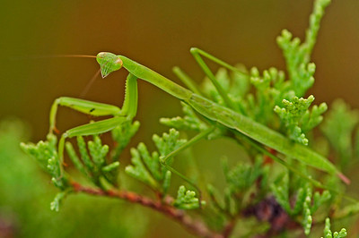 Praying Mantid (Mantis religiosa).
