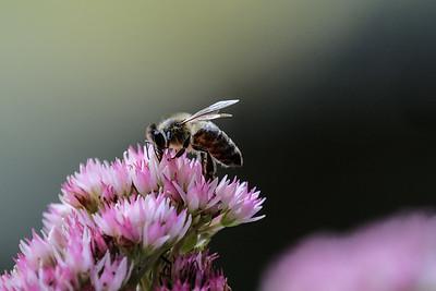 Bumblebee (genus Bombus).