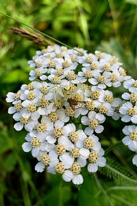 Common Yarrow - Achillea millefolium, and friend....