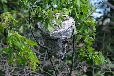 Bald-faced Hornet nest - Dolichovespula maculata.