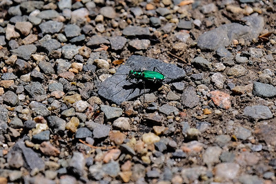 Six-spotted Tiger Beetle.