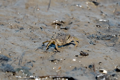 European Green Crab (Carcinus Maenas).