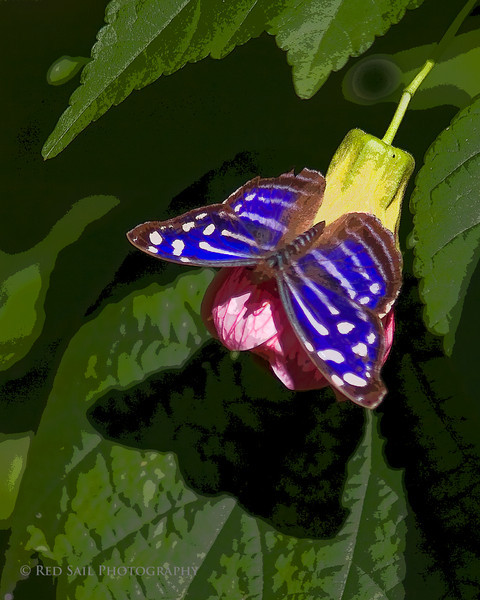 Butterfly, Myscelia Ethusa. Artistic filters applied.