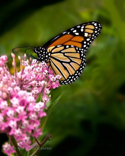 Monarch Butterfly..