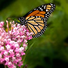 Monarch Butterfly..