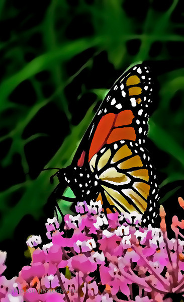 The Monarch Butterfly watercolor....