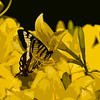 Eastern Tiger Swallowtail, artistic image.