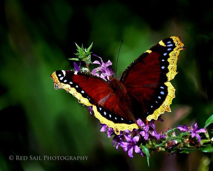 Butterfly on flower, watercolor.. Morning Cloak (Nymphalis antiopa)