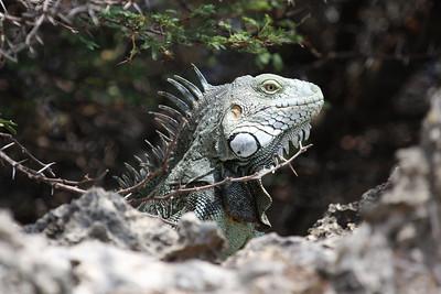 Aruba Critters