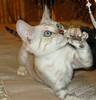 Aslan:  Born June 22, 2005.  Registered name: Ozark Jungle Aslan ne kevdar