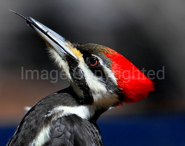 Pileated closeup - 4/8/09