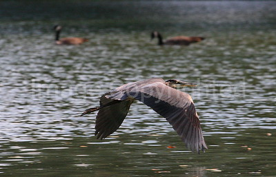 Blue Heron in Flight - 10/25/06