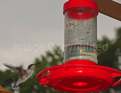 Hummer at the feeder - 4/16/13
