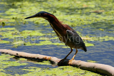 Green Heron on Limb - 8/1/06