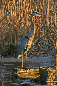 Blue Heron on log - 1/1/10