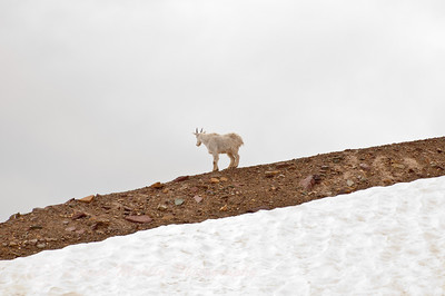 Mountain Goat (Oreamnos Americanus) Logan Pass, Hidden Lake Trail, Glacier National Park, MT