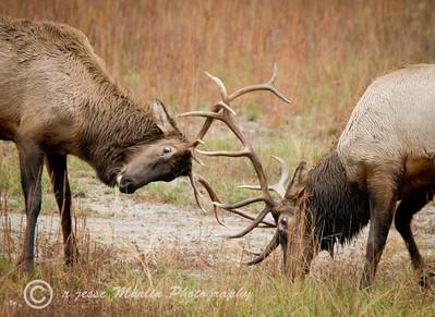 Bull Elk, Wapiti (Cervus Canadensis) dueling during rut in Hindman KY