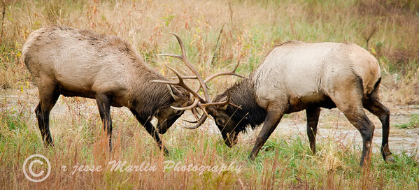 Bull Elk, Wapiti (Cervus Canadensis) duelling during rut in Hindman KY