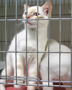 The twins.. ADOPTED!!! Supposedly found on the side of the road.. two of the most stunning Kittens ever.. white with very pale orange rings on their tails and legs only and orance on their faces.. with big blue eyes.. so cute!