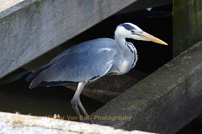 This Blue Heron just swallowed a fish (picture taken in the harbour of Urk, the Netherlands)