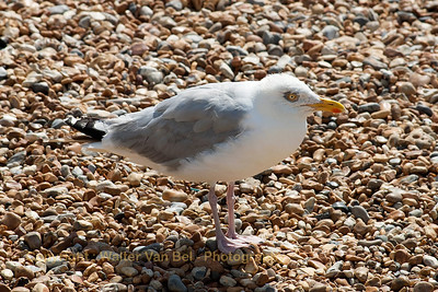 UK-Trip_Sea-gull_Hastings_20130818_CRW_3746_WVB_1600px