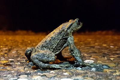 Close-encounter during night-walk with Bosco [Samsung S7 Edge]