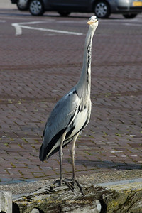 A Blue Heron in the harbour of Urk, the Netherlands.