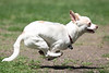 Look!    Up in the sky!<br /> It's a bird!    It's a plane!    It's a....<br /> Chihuahua named Troy?