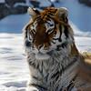 Utica Zoo tiger