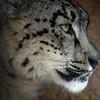 Utica Zoo snow leopard