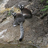 Strange looking - lemurs