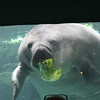 The manatee at lunch - trying to shed a few pounds I guess...