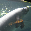 the manatee was fascinating to watch. They were eating lettuce leaves when we came in.
