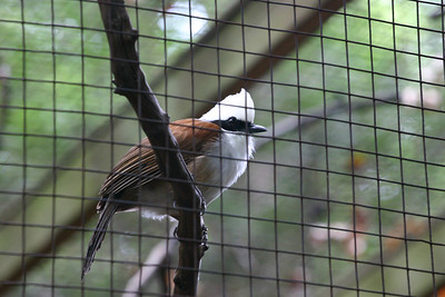 Laughing Thrush