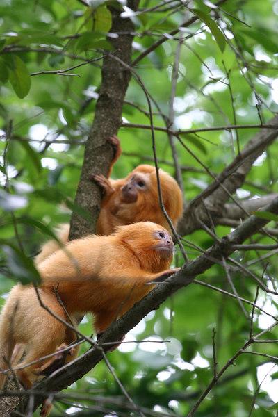 Golden Lion-Faced Monkeys
