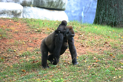 Gorilla and Babies