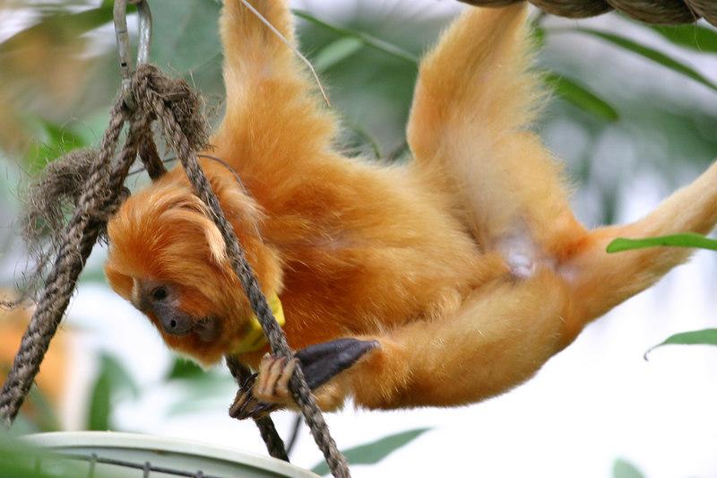 Golden Lion-Faced Monkey