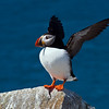 Atlantic Puffin on Machias Seal Island, off Jonesport, Maine.