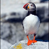 Atlantic Puffin. This image has the black frame and is recommended for use with merchandise.