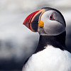 Atlantic Puffin w/o image frame.