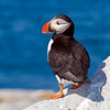Atlantic Puffin on Machias Seal Island, off Jonesport, Maine