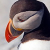 Atlantic Puffin in deep thought.