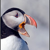 Atlantic Puffin (with on image frame)