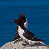 Razorbills on Machias Seal Island