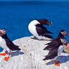 Atlantic Puffins with a Razorbill on Machias Seal Island off Jonesport, Maine.