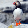 Atlantic Puffin (without on image frame)