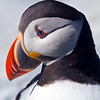 Atlantic Puffin. Taken on Machias Seal Island off Jonesport, Maine