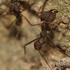 Atta Cephelotes (Leaf-Cutter ant) worker scaling the colony entrance wall INPA Black Soil Field Station, Manaus Brazil